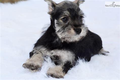 schnauzer puppies for sale near me schnauzer miniature puppy for sale near dallas fort worth ef4a44cc dcd1