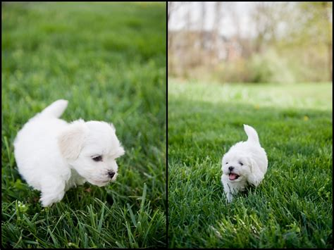 havanese puppies for sale in virginia havanese puppy photos photography du jour