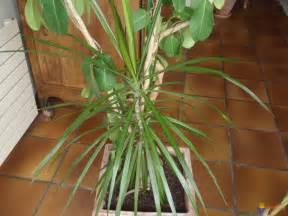 photo dragonnier 233 l 233 ment d une composition de plantes d