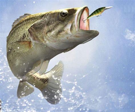 Fisch Bass by Bass Fishing Wallpaper Backgrounds Wallpaper Cave