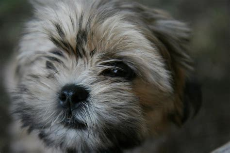 how does a shih tzu stay in heat five indoor