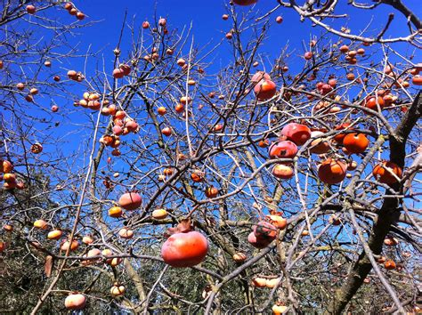 persimmon fruit tree for sale fuyu persimmon tree farmophile