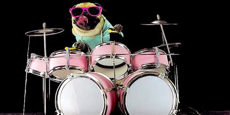 pugs and drummers pug drums along to metallica s enter sandman