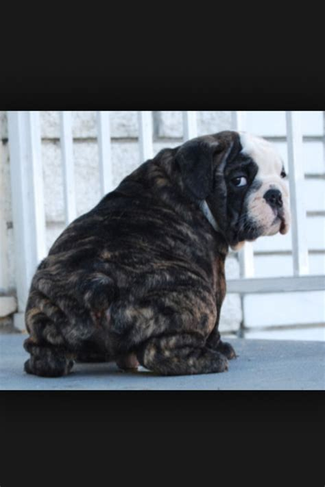 brindle bulldog puppies brindle bulldog puppy bullys