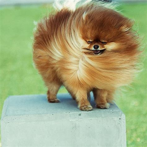 pomeranian coat care pomeranian hair care om hair