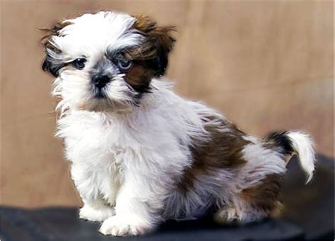 shih tzu common health problems shih tzu name