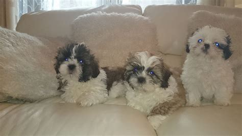trained shih tzu puppies for sale shih tzu puppy picture breeds picture
