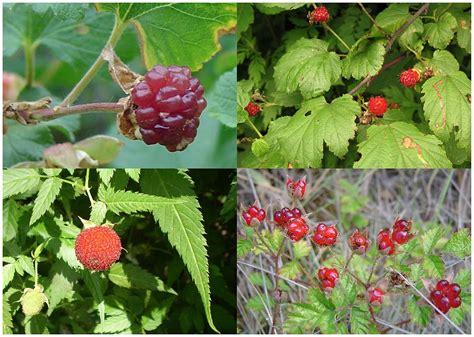 Teh Raspberry by Raspberry