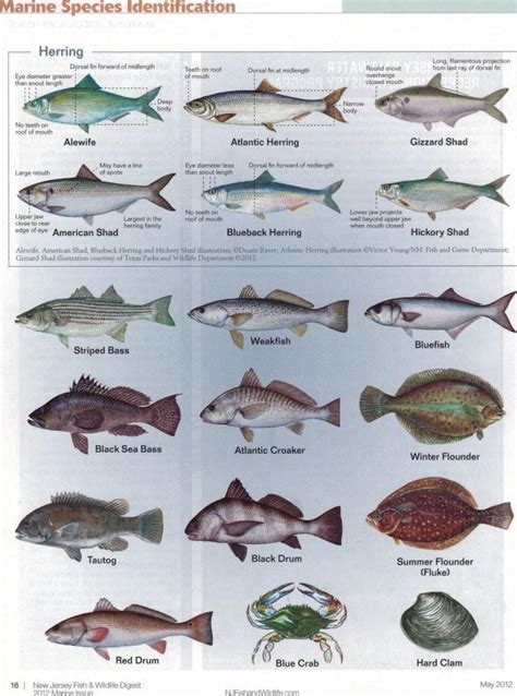 species chart new jersey fish identification chart 1