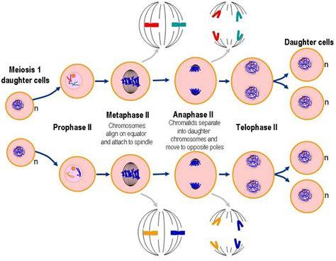 a diagram of meiosis meiosis diagrams to print diagram site