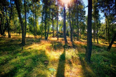 sunny forest   eriksson flickr
