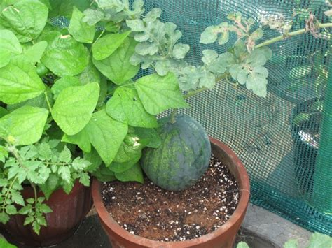 type growing watermelon in containers   1258