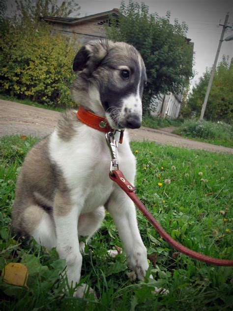 russian wolfhound puppies 1830 best puppy images on