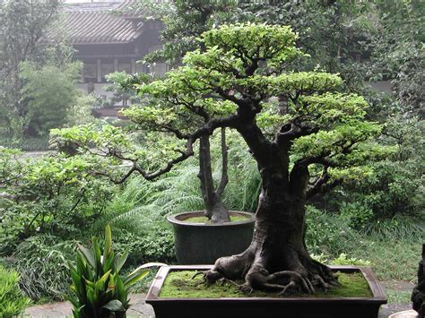 old bonsai tree brilliantbonsai a lifetime s passion for bonsai art and