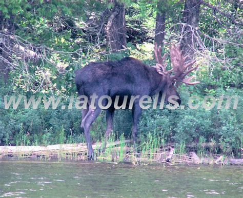 boat rentals near ely mn abundant wildlife in and near the bwca and moose lake