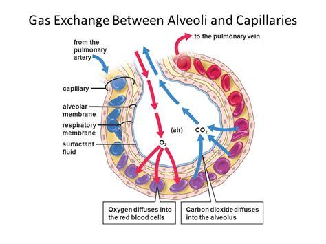 pressure in alveoli gas exchange bing images gaseous exchange at alveolar level bing images
