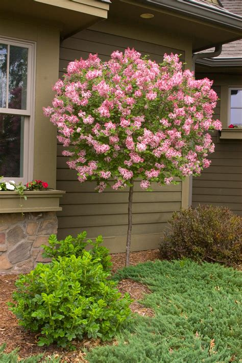 lilac tree how to plant and care for lilacs hgtv