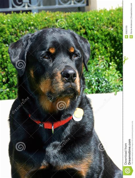rottweiler diet chart india rottweiler patient portrait royalty free stock photo image 30823785 models picture