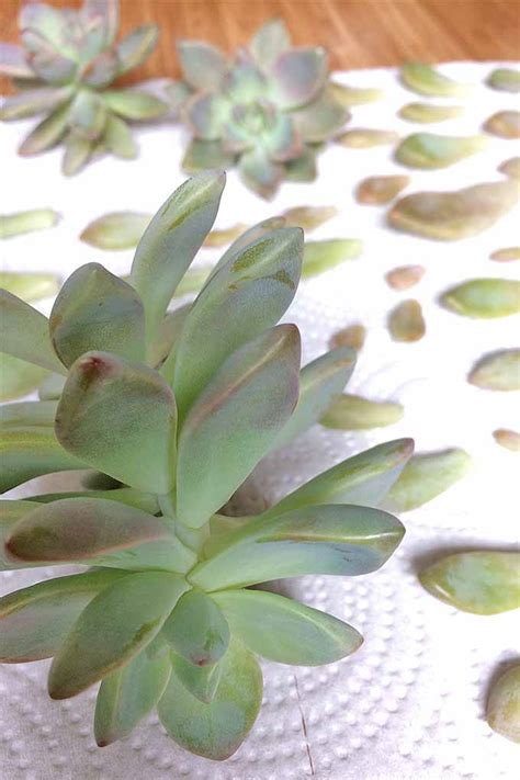 How To Successfully Propagate Succulents In 5 Easy Steps - propagating succulents in 5 easy steps gardener s path