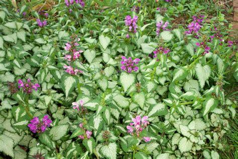a garden in bethlehem pa spotted dead nettle