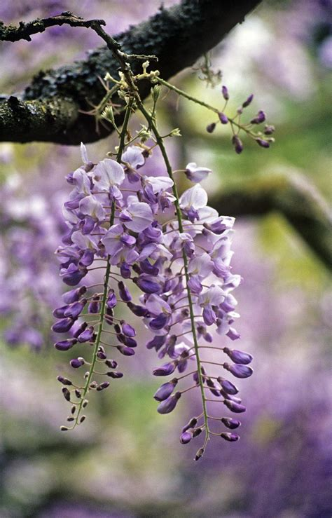 gardening should you fertilize wisteria to help it bloom
