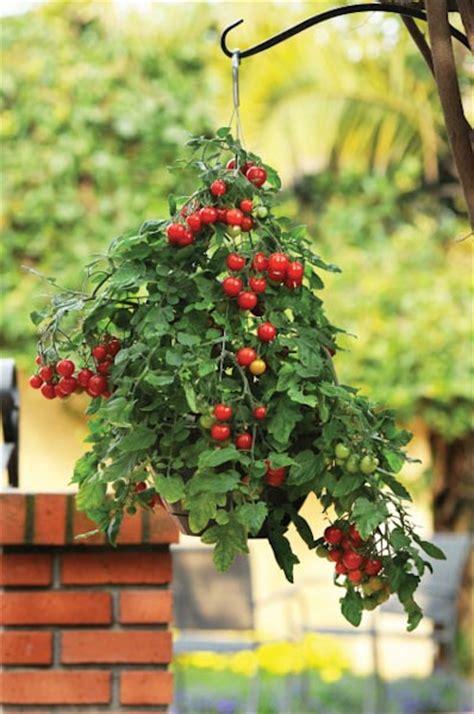 growing tomatoes  hanging basket vertical gardening