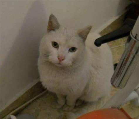 cucciolissimi org cucciolissimi smarrito gatto cucciolissimi org cucciolissimi smarrito gatto bianco