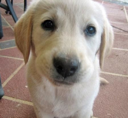 when do golden retrievers lose their baby teeth the retriever mix puppies daily puppy