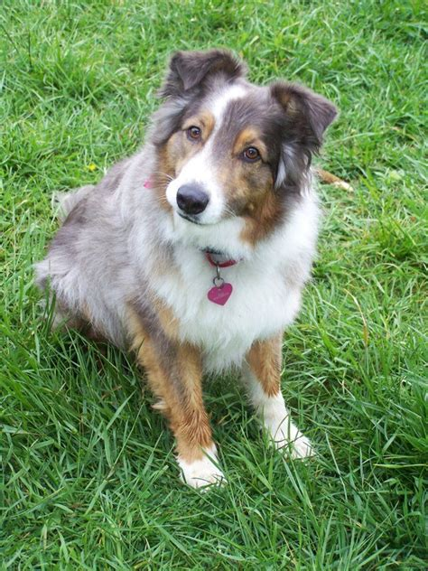 border aussie puppies for sale australian shepherd border collie mix puppies for sale in washington breeds picture