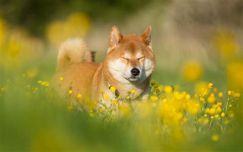 Flower Quotes And Sayings - shiba inu computer wallpapers desktop backgrounds