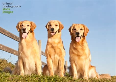 how to golden retrievers live animal photography images of cats dogs horses and many other