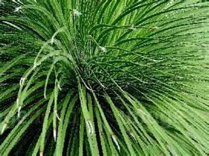 Evergreen Foliage Plants - dasylirion longissimum longissisiontte spikey long evergreen foliage plant stock photo image