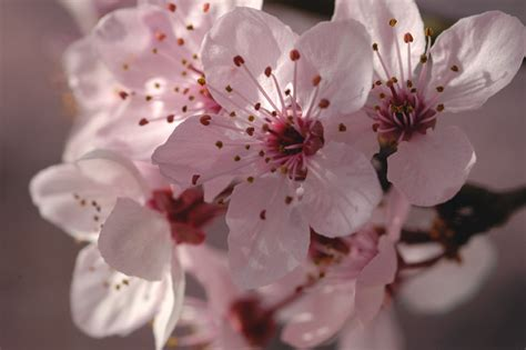 blossom cherry picture flowers for flower lovers cherry blossom pictures