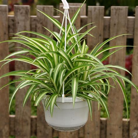 spider plant low light chlorophytum comosum bonnie 1 plant buy online order yours now