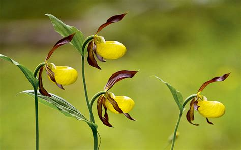 how to grow slipper orchids how to grow slipper orchids country