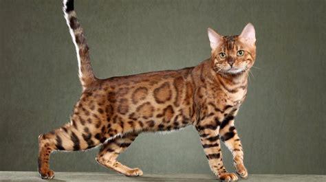 California Spangled Cats
