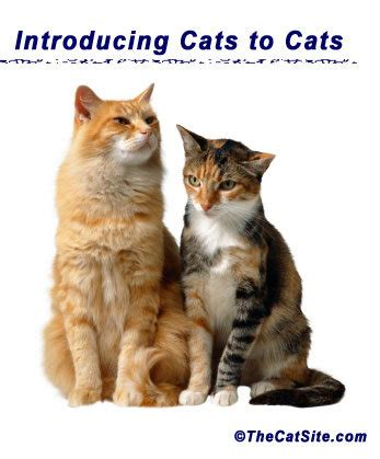 introducing cat to introducing cats to cats thecatsite