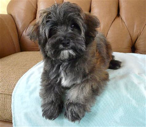 teddy havanese havanese dogs teddy bears and search on