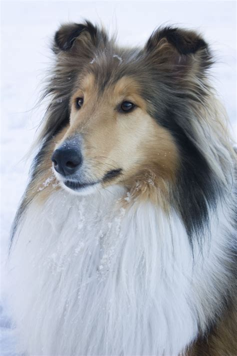 most beautiful dogs the world s most beautiful lassie handsome faces