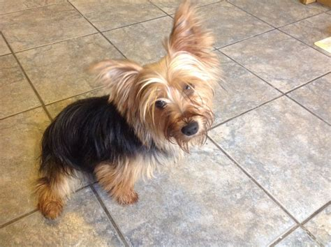 breed yorkies for sale yorkie for sale birmingham west midlands pets4homes