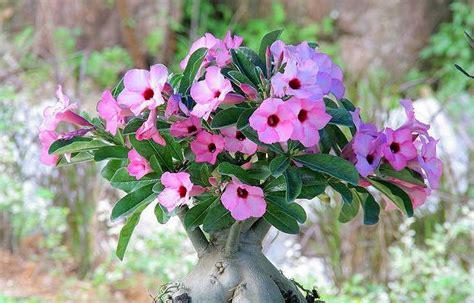 Pupuk Untuk Bunga Adenium cara merawat bunga adenium di rumah tanaman hias