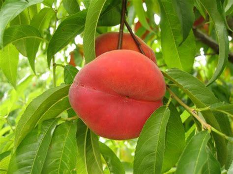 Garten Pflanzen Richtig Schneiden by Einen Pfirsichbaum Im Garten Pflanzen Und Richtig Schneiden