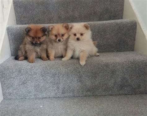 mini pomeranian breeders miniature pomeranian puppies 3 females and 1 west pets4homes