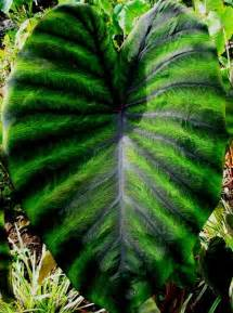 new colocasia tropicools madeira plants elephant ears pinterest gardens madeira and an
