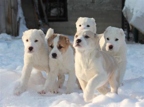 alabai puppies 42 best central asian shepherd images on big dogs large dogs and sheep dogs