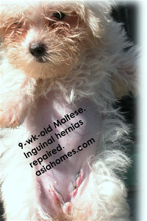 inguinal hernia in puppies the gallery for gt inguinal hernia