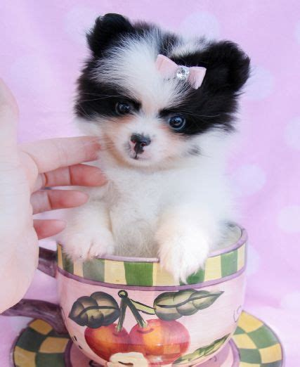 pomeranian puppies miami 62 best images about teacup pomeranians pomeranian puppies on teacup