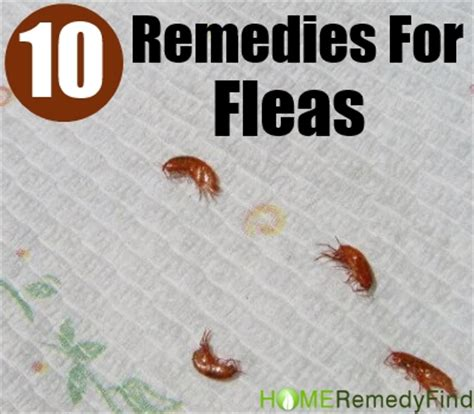 excellent home remedies for fleas diy find home remedies