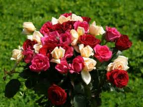 roses bouquet roses wallpapers colorful roses bouquet wallpaper