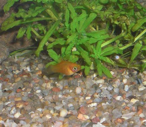 rasenmähen ab wann platyweibchen schwanger aquarium forum